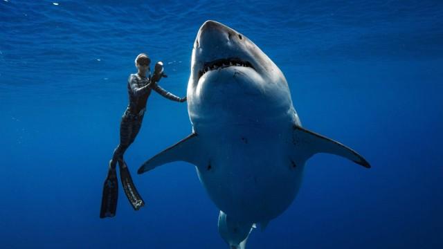 Tiere Weißer Hai vor Hawaii