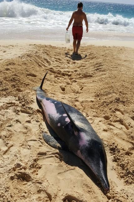 Tim Weidner rettet Delfin am Strand von Boa Vista.  Foto: Christine Keller/oh