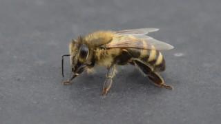 Biene auf dem Dach des Münchner Gasteig, 2018
