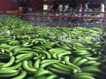 Bananenproduktion in Mexiko