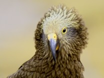 Close-Up Of Kea; SZ-Magazin