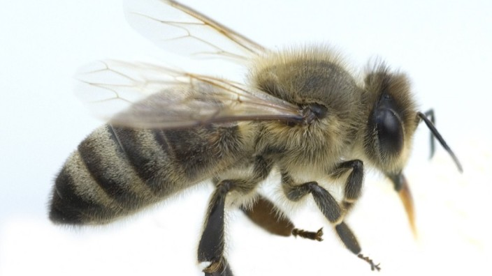 Biene Apis mellifera Honigbiene AUFNAHMEDATUM GESCHÄTZT