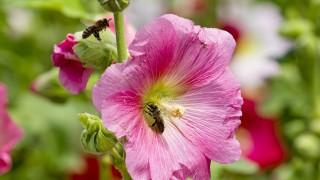Bienenparadis Stockrosen Schmidberger