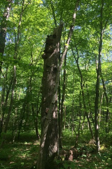 Baum ist laut Ebersberger Amt vermutlich in der Angerlohe. Am besten vage bleiben als Beispiel Totholzbaum in der Angerlohe (Landschaftsschutzgebiet) und im Allacher Forst (direkt nördlich, nur durch die Ludwigsfelder Str. getrennt, anschließend)