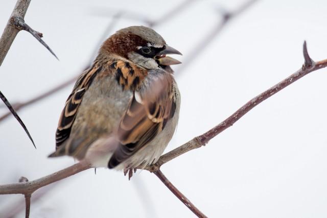 Spatz ist nach wie vor der häufigste Gartenvogel in Thüringen