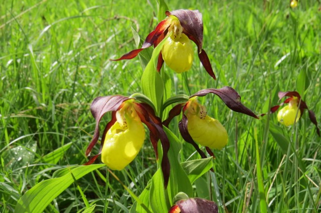 Der Frauenschuh (Cypripedium calceolus)