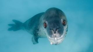 Seeleopard Hydrurga leptonyx schwimmt unter Wasser Pleneau Island Antarktis Antarktika *** Sea