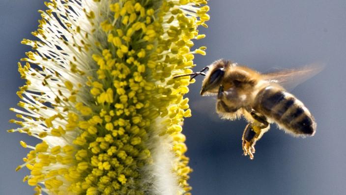 Biene sucht Nahrung in einem Garten