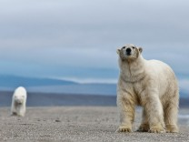 Polar bear Ursus maritimus walking along beach with another behind Wrangel Island Far Eastern Ru