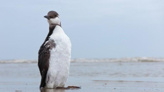 Trottellumme Uria aalge Jungvogel mit verschmutztem Gefieder am Strand Texel Niederlande *** Gui