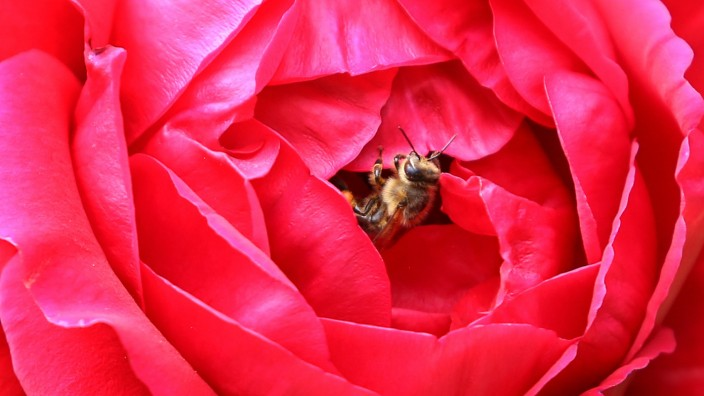 Biene in Rose