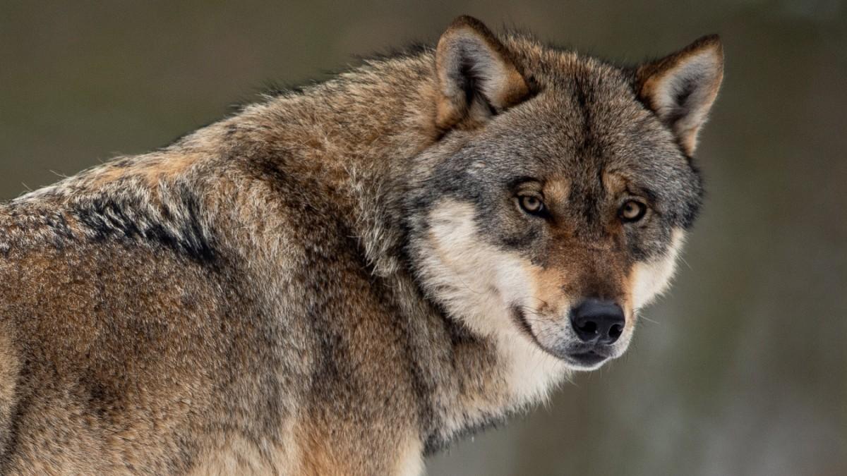 Problemwolf GW924m abgewandert