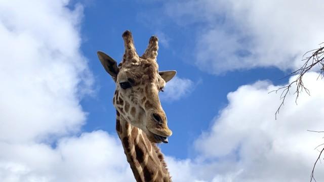 Giraffe Stanley