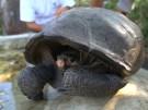 Chelonoidis phantasticus lebt (Vorschaubild)
