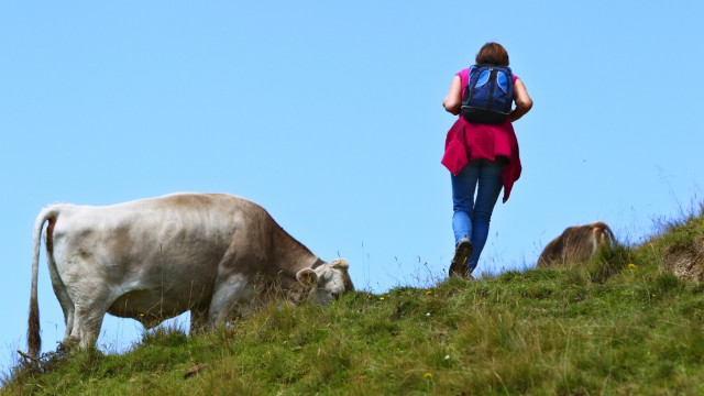 Wanderin zwischen den Kühen