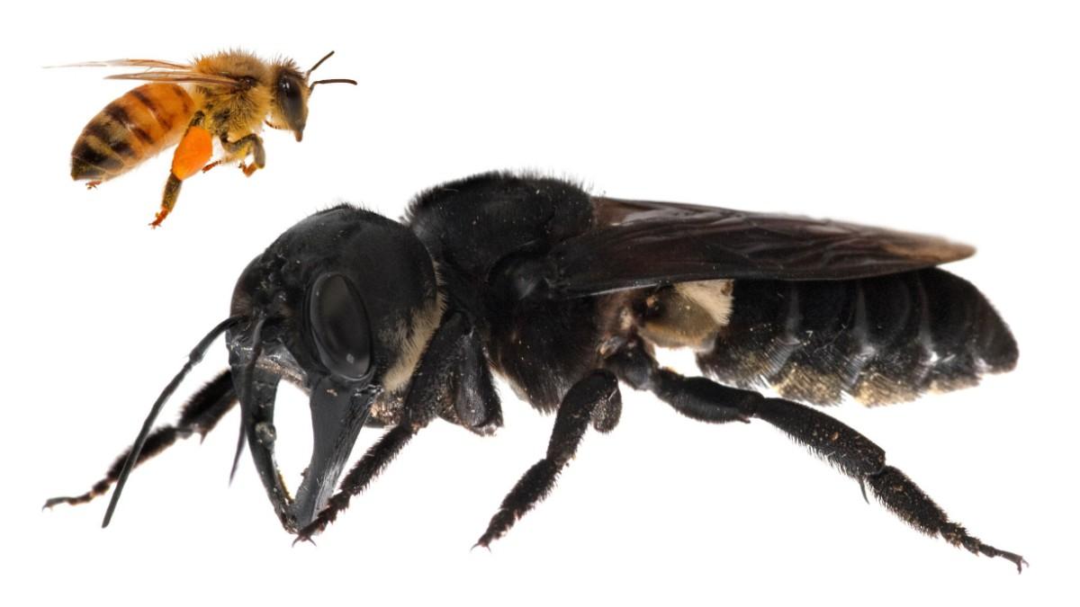 Die größte Biene der Welt ist wieder aufgetaucht