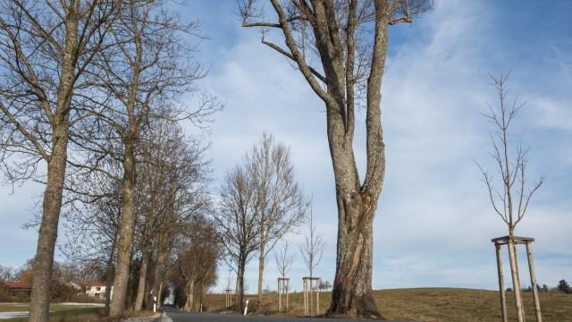 Straßlach, historische Allee rund um den Weiler Beigarten,  welche über die Isar hinweg bis zum Kloster Schäftlarn reichte, hier sollen weitere Bäume gefällt werden,