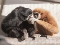 Gibbon-Wohngemeinschaft in der Wilhelma