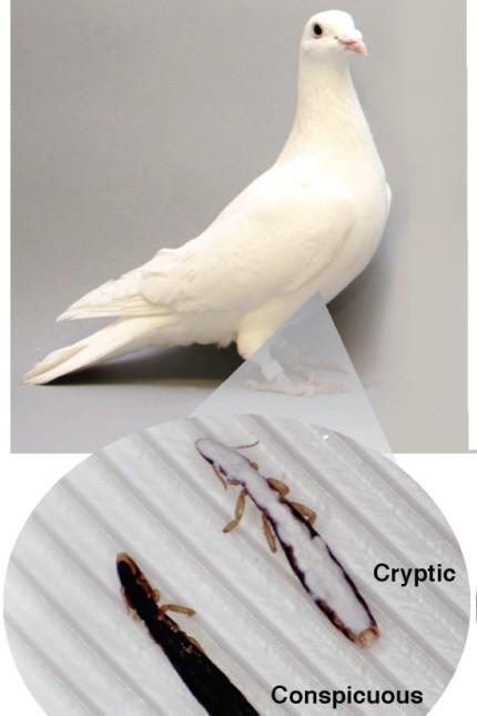 Biologie Experiment mit Tauben