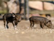 Ferkel im Natur- und Tierpark Goldau