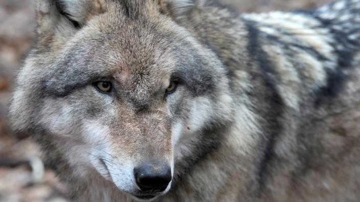 Wolf Aktionsplan