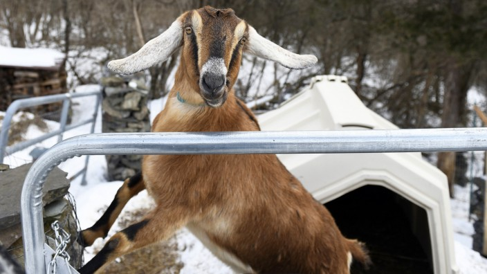 Goat elected honorary 'Pet Mayor' in Vermont