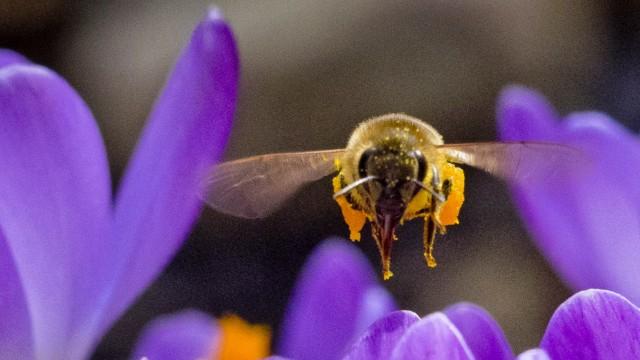 Biene und Krokus