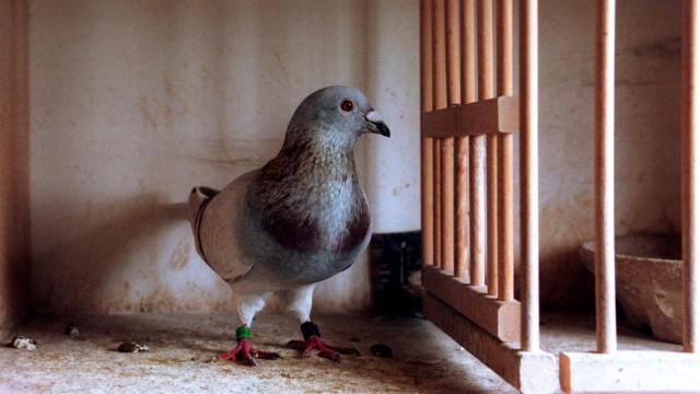 Brieftaube in ihrem Käfig, 2000