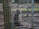 Paviane aus dem Emsland bekommen ein neues Zuhause (Vorschaubild)