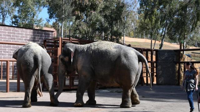 Circus Krone entlässt Elefanten in den Ruhestand