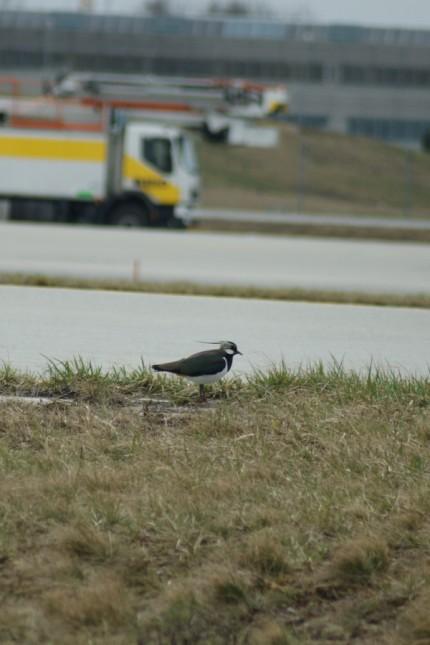Erding Immer mehr Vögel am Flughafen