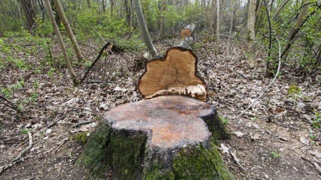 Neubiberg, Schopenhauer Wald, in dem zum vierten Mal massiv auch gesunde Bäume gefällt wurden,