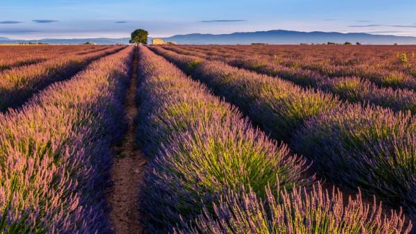 Lavendelfelder Lavandula angustifolia Valensole Département Alpes de Haute Provence Provence Al