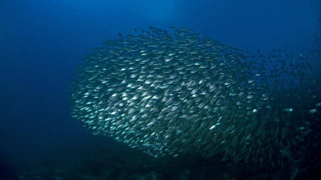 Large school of bigeye scad with barracuda near surface Selar crumenophthalmus Sea Aquarium Reef, Curacao, Netherlands Antilles