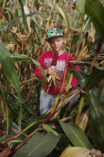 Sohn Michael Eder, 9, bei der Maisernte in Etterschlag