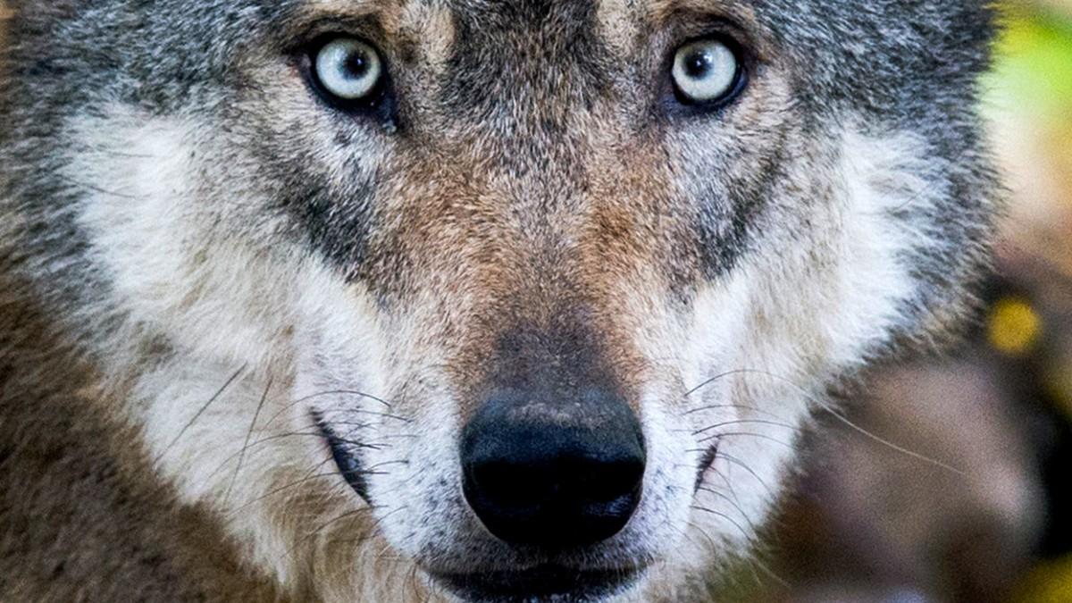 Invasion der Wolfsbeschützer