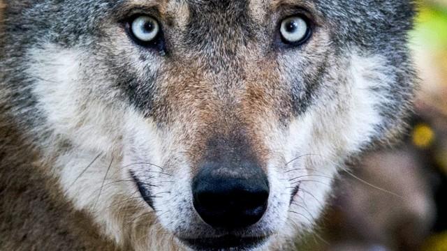 Verband: Jagd würde für mehr Akzeptanz des Wolfs sorgen