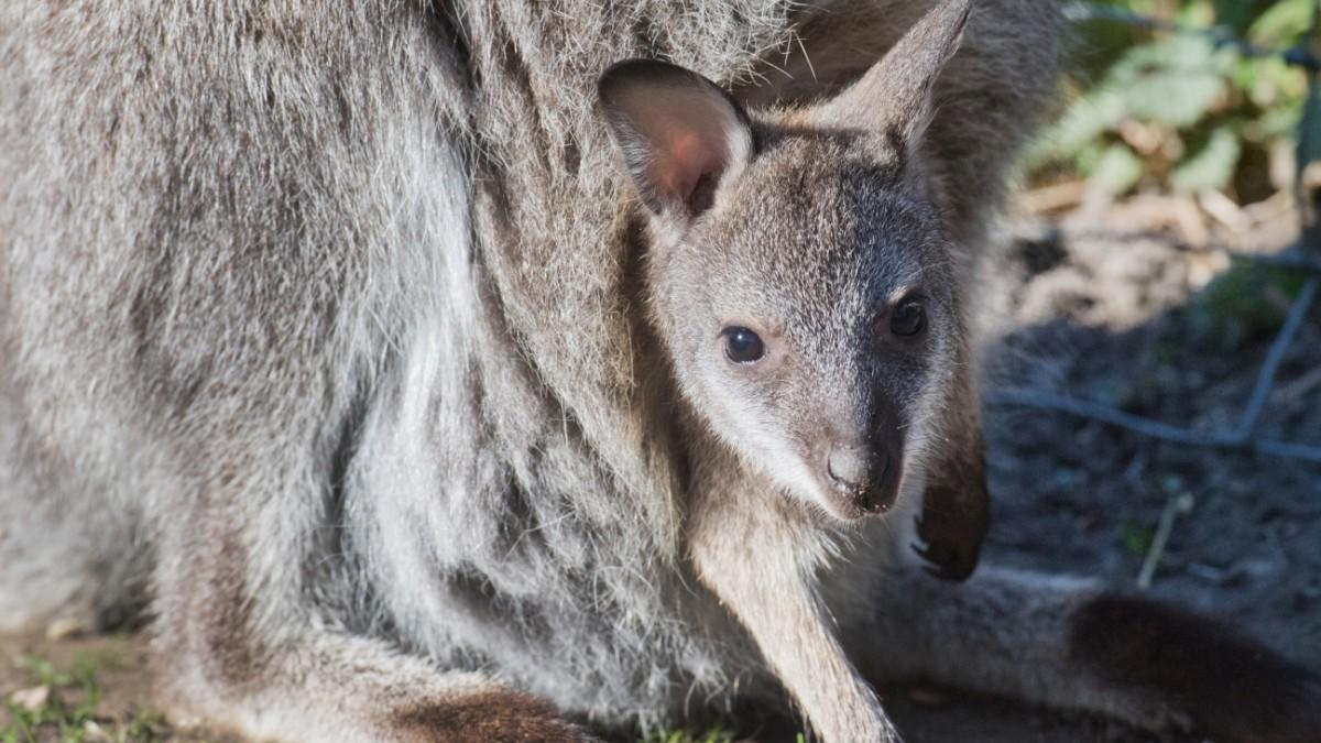 Polizei stellt Känguru auf der Autobahn sicher