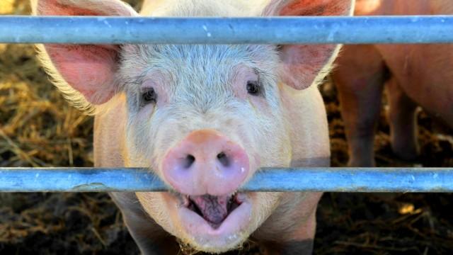 Andechs: Georg Scheitz und seine Schweine