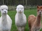 Alpakas: Kleinkamele zum Kuscheln? (Vorschaubild)