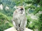 Ngarai_Sianok_sumatran_monkey