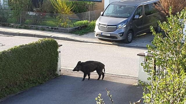 Zorneding Wildschwein-Alarm