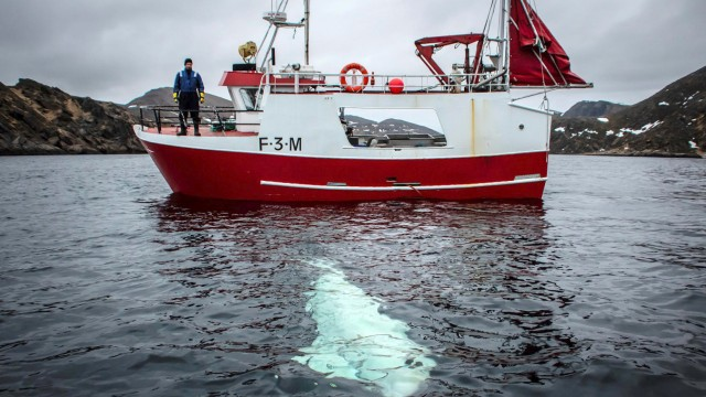 A white whale wearing a harness is seen next to a fishing boat off the coast of northern Norway