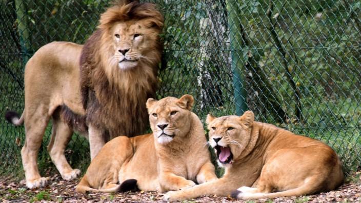 Löwengruppe im Serengeti-Park Hodenhagen