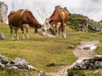 Kühe Berg Italien  Südtirol  Kühe auf dem Col Raiser Rundwanderweg
