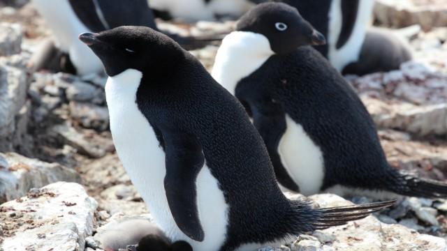 Pinguine und Robben düngen die Antarktis