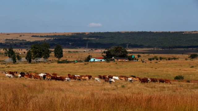 Cows graze in front of a farmhouse in Lawley informal settlement in the south of Johannesburg