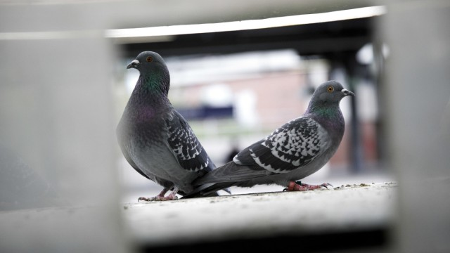 Tauben sollen neue Unterkünfte bekommen