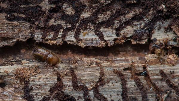 Nach Sturm und Hitze: Borkenkäfer-Invasion bedroht Wälder