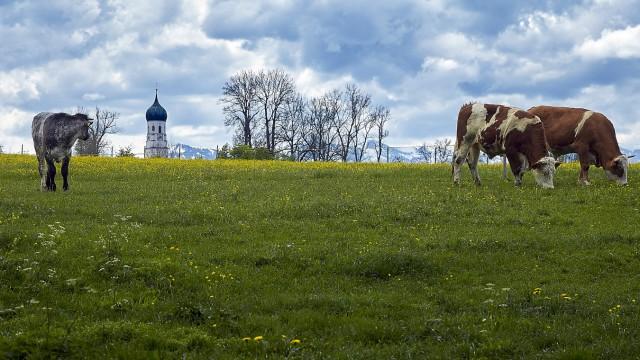 Rinder Wiese